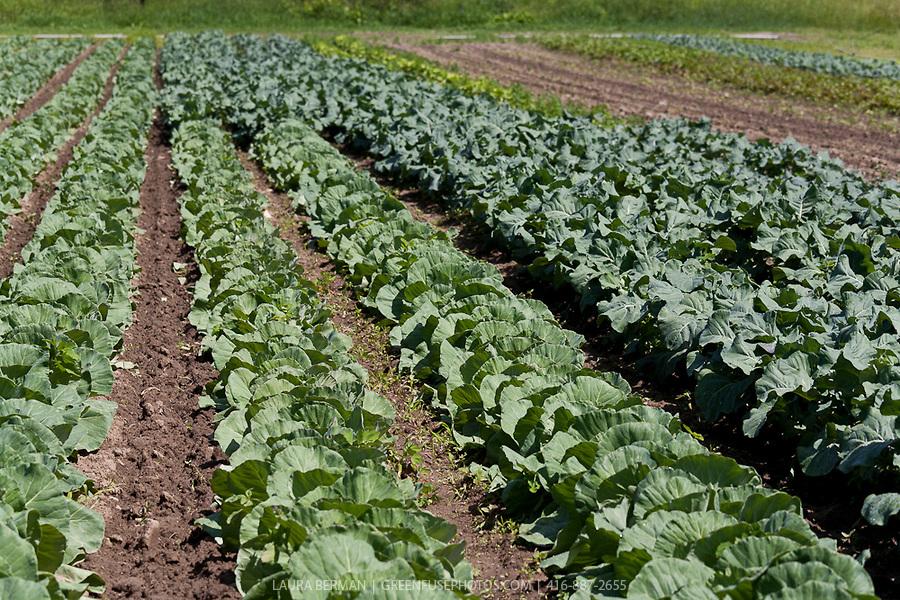 Broccoli-farm