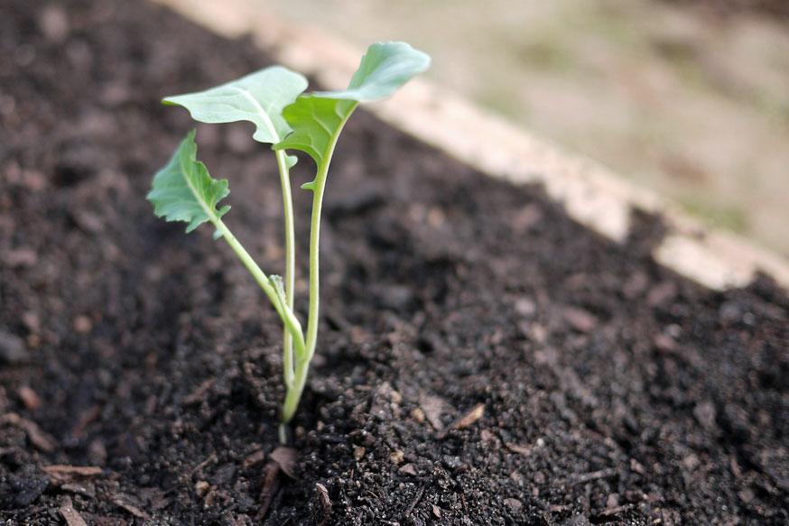 Seedlings-of-Broccoli