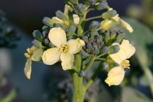 Close-up-flower-of-Broccoli