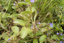 Brooklime-Plant-growing-wild