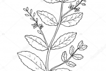 Sketch-of-Brooklime-plant