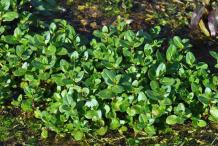 Brooklime-Plant