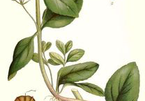 Plant-Illustration-of-Brooklime-plant