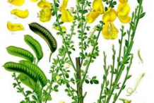 Broom-Plant-Illustration