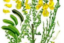 Broom-Plant-Illustration
