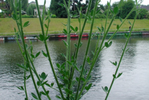 Broom-Plant