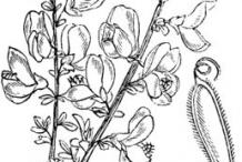 Broom-plant-sketch