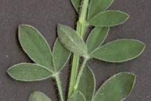 Leafy-shoot-of-Broom-Plant