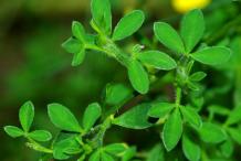Leaves-of-Broom-Plant