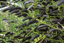 Matured-fruit-of-broom-plant