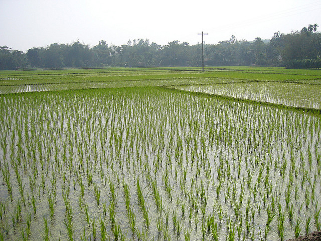 Brown-rice-field