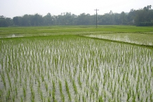 Brown-rice-field