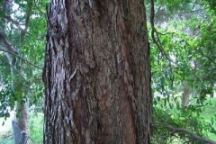 Bark-of-Brush-Cherry