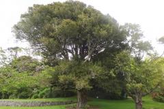 Brush-Cherry-Tree