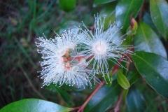 Flower-of-Brush-Cherry