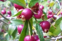 Fruits-of-Brush-Cherry
