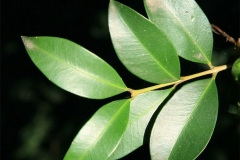 Leaves-of-Brush-Cherry