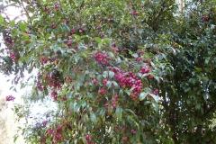 Mature-Brush-Cherry-fruits-on-the-tree