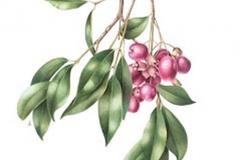 Plant-Illustration-of-Brush-Cherry