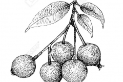 Sketch-of-Brush-Cherry
