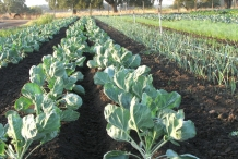 Brussel-sprouts-farm