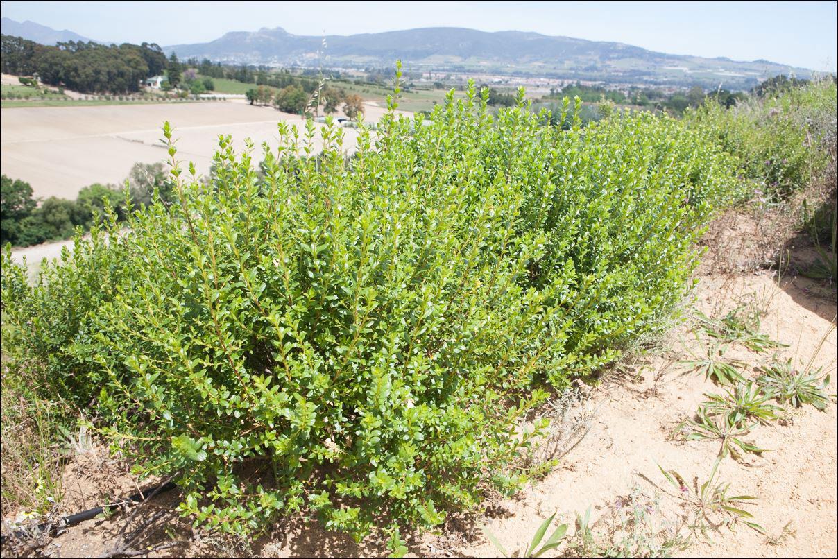 Buchu-plant-growing-wild