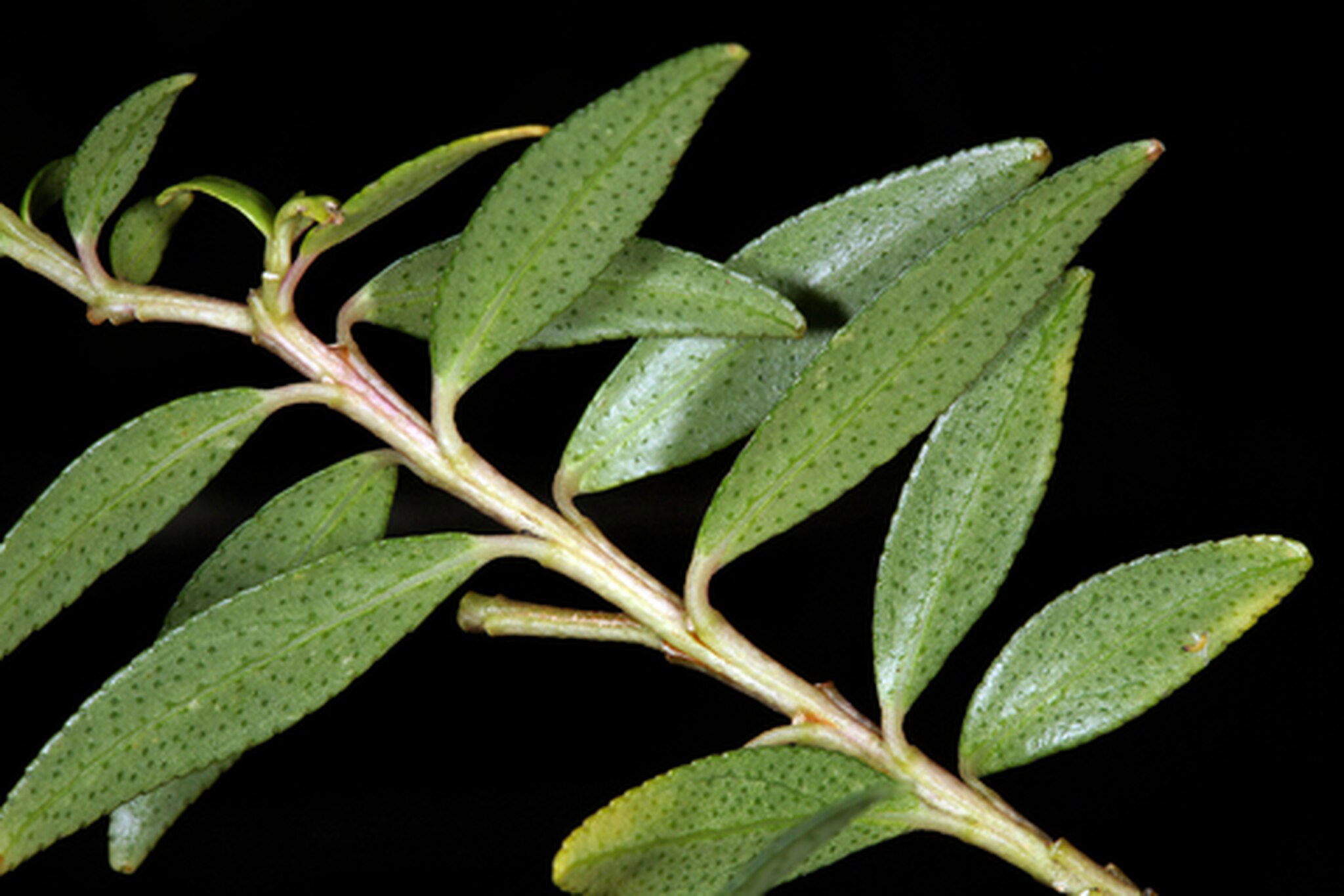 Leaves-of-Buchu-plant