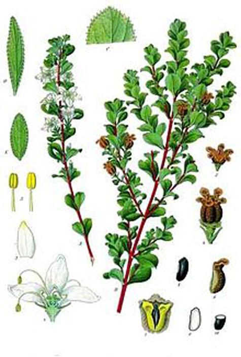 Plant-Illustration-of-Buchu
