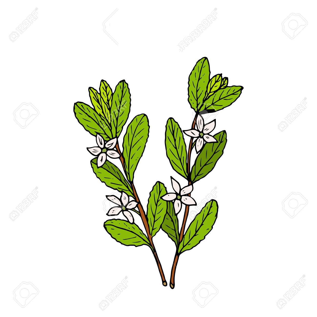 Sketch-of-Buchu-plant