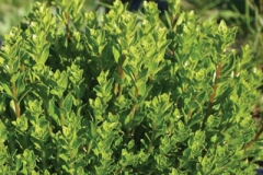 Buchu-plant