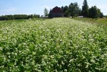 Buckwheat-farm