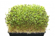 Buckwheat-sprouts