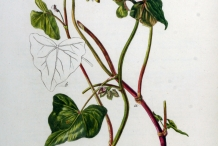 Plant-illustration-of-Buckwheat