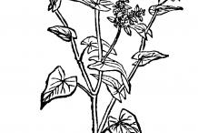 Buckwheat-drawing