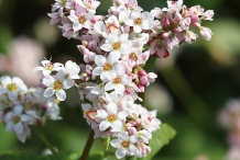 Close-up-flower-of-Buckwheat