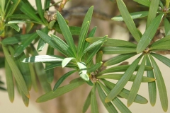 Closer-view-of-leaves-of-Buddhist-pine