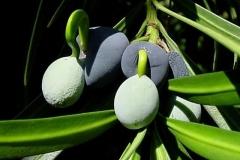 Fruits-of-Buddhist-pine