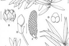 Sketch-of-Buddhist-pine