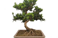 Small-Buddhist-pine-tree-on-the-pot
