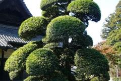Trimmed-Buddhist-pine-tree