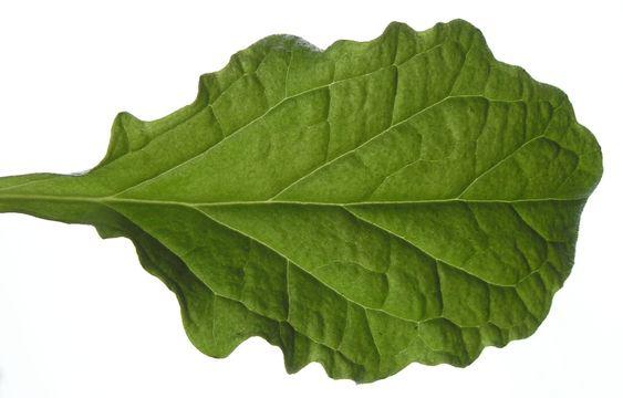 Dorsal-view-of-Bugleweed--Leaf