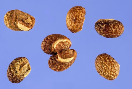 Seeds-of-Bugleweed
