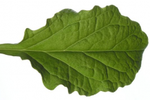 Dorsal-view-of-Bugleweed--Leaf