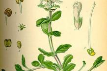 Plant-Illustration-of-Bugleweed