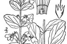 Sketch-of-Bugleweed--plant