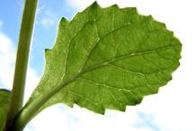 Ventral-view-of-Bugleweed--leaf