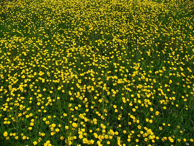 Bulbous-Buttercup-Farming