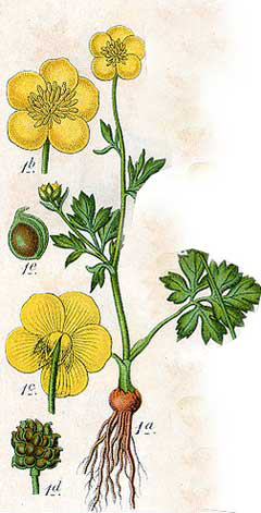 Plant-Illustration-of-Bulbous-Buttercup-plant