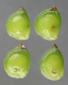 Unripe-Achenes-of-Bulbous-Buttercup