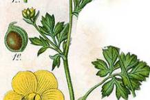 Plant-Illustration-of-Bulbous-Buttercup-plant
